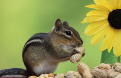 Chipmunk eating a peanut next to sunflower Stock Photography