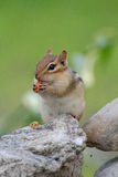 Chipmunk eating a peanut Stock Photography