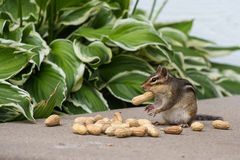 Chipmunk eating peanuts Stock Images
