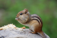 Chipmunk eating a peanuts Royalty Free Stock Images