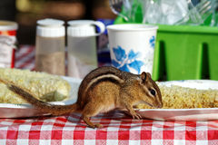 Chipmunk Eating on Picnic Table Stock Images