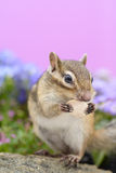 Chipmunk eating pumpkin seed Stock Image