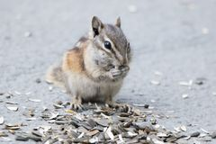 Chipmunk Eating Seeds royalty free stock photography