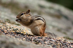 Chipmunk eating seeds Stock Images
