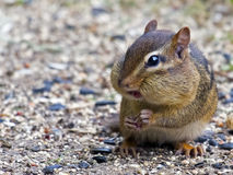 Chipmunk Eating Seeds Stock Photos