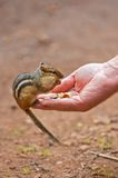 Chipmunk Eating Side View Stock Photo