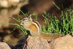 Chipmunk Eating Royalty Free Stock Photo