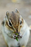 Chipmunk eating something Stock Photos
