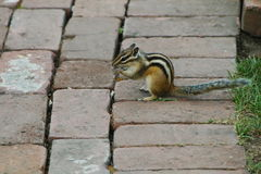 Chipmunk eating something Royalty Free Stock Photos
