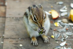 Chipmunk eating something Royalty Free Stock Images