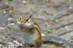 Chipmunk eating sunflower seed Royalty Free Stock Photography