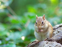 Chipmunk eating a sunflower seed Royalty Free Stock Images