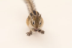 Chipmunk eating sunflower seed Stock Photography