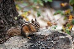 Chipmunk eating sunflower seeds. On tree stump Royalty Free Stock Photos