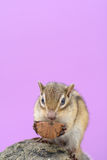 Chipmunk eating walnut Royalty Free Stock Photography