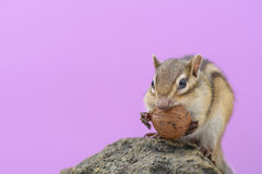 Chipmunk eating walnut Stock Photo