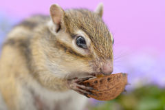 Chipmunk eating walnut Stock Image