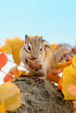 Chipmunk eating walnut Stock Images