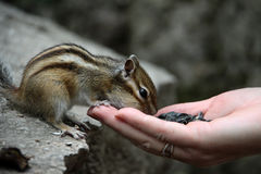 Chipmunk. Eats with his hands Stock Photos