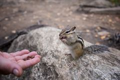 A Chipmunk eats a nut in a forest in the taiga. Royalty Free Stock Image