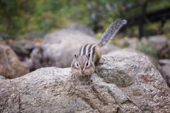 A Chipmunk eats a nut in a forest in the taiga. Royalty Free Stock Images