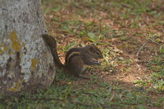 The chipmunk eats a nut near a tree. Royalty Free Stock Photography
