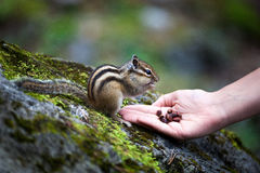 Chipmunk eats nuts Royalty Free Stock Photography