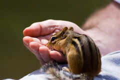 Chipmunk Eats out of Hand Royalty Free Stock Image