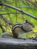 Chipmunk eats the seeds Royalty Free Stock Image