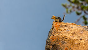 Chipmunk on the edge. Little chipmunk on a rock on the edge of Crater Lake Oregon Royalty Free Stock Photo