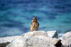 Chipmunk em rochas Fotografia de Stock Royalty Free