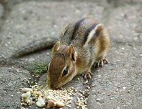 Chipmunk em sementes Imagem de Stock Royalty Free