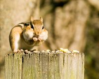 Chipmunk em um borne fotografia de stock