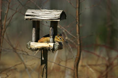 Chipmunk en alimentador del pájaro fotografía de archivo