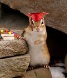 Chipmunk en la graduación Fotos de archivo libres de regalías