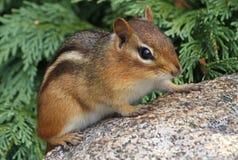 Chipmunk en una roca Fotos de archivo