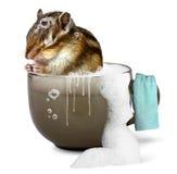 Chipmunk engraçado que toma um banho Imagem de Stock