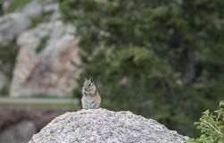 Chipmunk enjoying a sunflower seed stock photo
