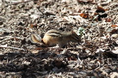 Chipmunk. This is a chipmunk enjoying the sunshine Royalty Free Stock Photography