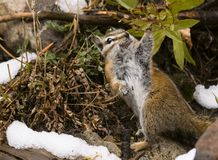 Chipmunk eating berries. A chipmunk in the fall getting ready for the coming winter royalty free stock photography