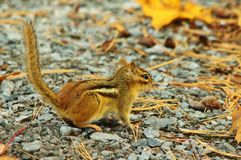 Chipmunk in fall royalty free stock photography