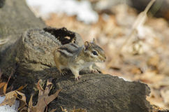 Chipmunk on a fallen tree trunk Royalty Free Stock Images