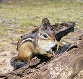 Chipmunk with fat cheeks on driftwood Stock Image