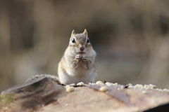 Chipmunk Feast Stock Images