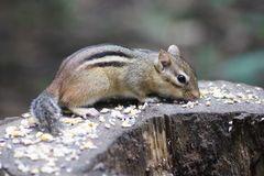 Chipmunk Feasting. Cute chipmunk feasting while sitting on a log Royalty Free Stock Images