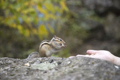 Chipmunk feeding from hand Stock Photos