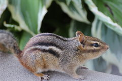 Chipmunk, female Stock Photo