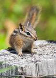 Chipmunk on fence Stock Images