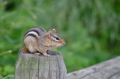 Chipmunk on a fence post 3 Royalty Free Stock Photos