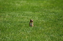 Chipmunk in field Royalty Free Stock Photo